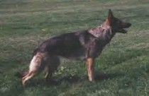 http://www.examiner.com/german-shepherd-in-akron/the-german-shepherd-dog-and-breeding-is-your-gsd-breed-worthy-part-2    Article about the German Shepherd and determining if your dog is breed worthy or not.     Pictured here is SG Olivia vom Reichtal SchH3 IPO3 TR3 OB3 WH Kkl2 AD CD HIC CGC TC OFA good H 'a' normal ZW#76 - foundation female for Vom Haus Weinbrand kennels.