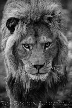 - A captive male lion stalks towards the camera. - A captive male lion stalks towards the camera. This is one of the few captive lions that d Lion Pictures, Animal Pictures, Big Cats, Cats And Kittens, Lion Photography, Lion Head Tattoos, Lions Photos, Lion Tattoo Design, Lion Design