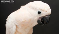What You Need To Know About Psittacine Beak & Feather Disease