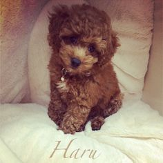 Haru - cutest red toy poodle ever