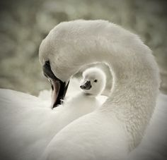 Swans: Mama Pen with cygnet :-)