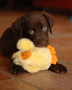 I want a chocolate lab sooo bad!!
