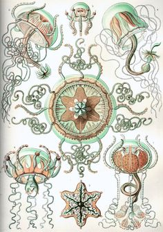 Medusa (Geryonia proboscidalis), Kunstformen der Natur, 1904 (Earnst Haeckel)