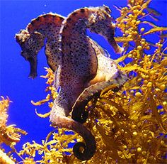 It is hard to believe that the sea horse is a fish, but it is. They can change their color to hide from their enemies. Sea horses are ver. Underwater Creatures, Ocean Creatures, Underwater World, Beautiful Sea Creatures, Animals Beautiful, Seahorse Facts, Seahorse Aquarium, Aquarium Fish, Seahorse Image