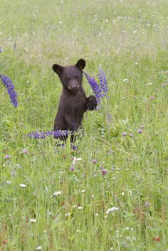 Baby black bear playing with the wildflowers.