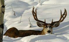 Snow Buck - Grand Teton National Park Wildlife by Scot Copeland Images Mule Deer Buck, Moose Deer, Big Deer, Deer Art, Deer Pictures, Deer Family, Whitetail Bucks, Hunting Season, Animal Games