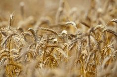 close up of rye in a field ready for harvest Stock Photo
