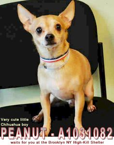 PEANUT - A1031082 waits for you at the Brooklyn NY High-Kill Shelter ** I am a very cute little Chihuahua boy. The shelter staff thinks I am about 4 years old & I only weigh 11 pounds; ✔Pledge✔Tag✔Share STILL NEED ✔Rescue✔Foster✔Adopter NOW!! On Petharbor: http://www.petharbor.com/pet.asp?uaid=NWYK1.A1031082 **NEEDS ✔Rescue✔Foster✔Adopter NOW** PEANUT - A1031082 NEUTERED MALE, TAN / WHITE, CHIHUAHUA SH MIX, 4 yrs OWNER SUR - EVALUATE, NO HOLD Reason TOO MANY P Intake Date 03/23/2015, From NY…