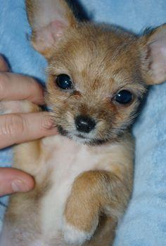 Yorkie-Chi Puppy!