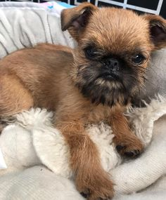 top 10 Small Dog That Are Good With Kids - aimals Brussels Griffon Puppies, Griffon Dog, Best Small Dog Breeds, Best Small Dogs, Cute Puppies, Dogs And Puppies, Cute Dogs, Chihuahua Dogs, Calm Dog Breeds