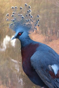 Victoria Crowned Pigeon Greeting Card, and yes, it's a pigeon, albeit an exotic one native to New Guinea. It's a Victoria Crowned Pigeon. Animal Cards, Pigeon, Nativity, Exotic, Greeting Cards, Victoria, Crown, Bird, Prints