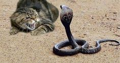 23 of the most craziest, fearless Badass Cats