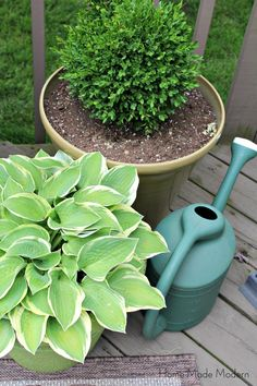 potted hosta and boxwood
