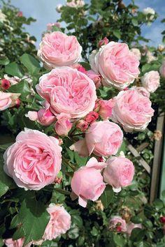 Rosier 'L'Alhambra' (grandes fleurs)