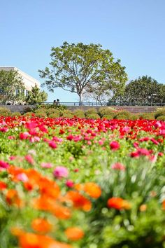 Spring Blooms are here at the Carlsbad Flower Fields - go see them before they're gone! // localadventurer.com