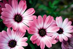 Bonitas flores | MARGARITAS ROSAS . Imagen & Foto | plantas, flores ...
