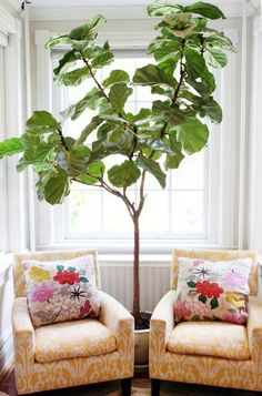 Love the idea of having a rubber tree in the living room.