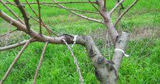 Τρόπος και εποχή κεντρώματος δέντρων   Τρεις τρόποι είναι που κεντρώνονται όλα τα δέντρα  και ημερώνονται.  Ο πρώτος λέγετε εγκεντρισμός,... Garden Guide, Garden Sculpture, Plants, Plant Propagation, Gardening, Projects, Log Projects, Lawn And Garden, Plant