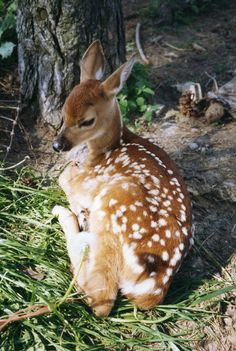 Fawn.  #babyanimal #forest #campin