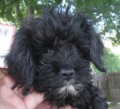 Shemp is an adoptable Cockapoo Dog in Belleville, IL. Shemp is a 3m/o, 5# black and white cockapoo puppy from a puppymill in southeast Missouri. Shemp was born totally blind, but he has no idea he is ...