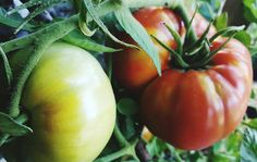 Secrets To Growing Plump Tomatoes! VERY helpful website!