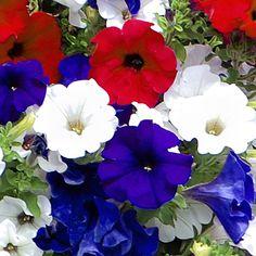 Petunias Patriotic Petunia Collection - Red, White & Blue Surfinia