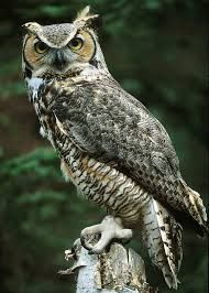 Great Horned Owls are fierce predators that can take large prey, including raptors such as Ospreys, Peregrine falcons, Prairie falcons, and other owls. Great Horned Owls are common and widespread throughout much of the Americas. Beautiful Owl, Animals Beautiful, Cute Animals, Owl Photos, Owl Pictures, Owl Bird, Pet Birds, Great Horned Owl Facts, Tier Fotos
