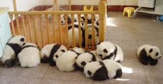 The researchers at the Chengdu, China Giant Panda Research Center have successfully learned how to breed giants pandas in large numbers. Sixteen cubs were born in one year alone. :)