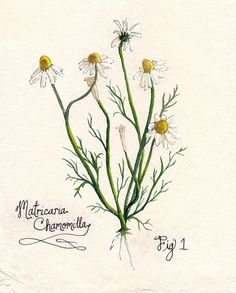 Botanical Illustration - Chamomile Good Hands Company