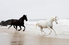Black & white horses running on the beach