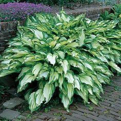 Hosta Mediovariegata   Hosta undulata   Classic Easy to Grow Shade Garden Plant $54.98 for a bag of 30