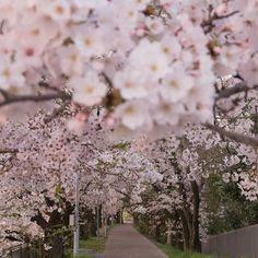 ' おはようございます また一週間乗り切りましょか ェ .  #team_jp_ #team_jp_春色2016 13日まで .  #奥行き同盟 #ぶらり京都撮影部  #京都 #sakura #kyoto #フクの桜2016 4月日 満開 by fuku294_