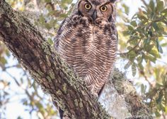 Great Horned Owl in Charleston SC Live Oak Tree. Follow the journey of the owlets and their attempts to grow up. Blog about how a couple helps owls.