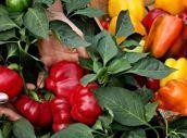 Jak si vypěstovat vlastní papriky? Je čas zasít semínka