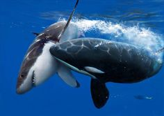 A Shark And A Killer Whale Possibly Fighting
