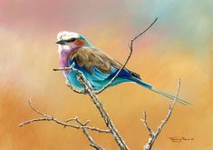 lilac breasted roller by Jeremy Paul