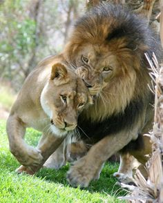 Izu the Lion & Lioness Beautiful Cats, Animals Beautiful, Big Cats, Cute Cats, Animals And Pets, Cute Animals, Lion Photography, The Lion Sleeps Tonight, Gato Grande