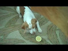 Epic battle between Lemon Beagle and lemon. Baby Animals, Funny Animals, Cute Animals, Lemon Beagle Puppy, I Love Dogs, Cute Dogs, Funny Animal Videos, Dog Pin, Fur Babies