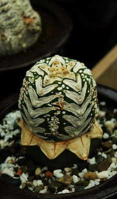 Astrophytum cristate form – Succulent diy ideas - How to Make Gardening Weird Plants, Unusual Plants, Rare Plants, Exotic Plants, Cool Plants, Succulents In Containers, Cacti And Succulents, Planting Succulents, Planting Flowers