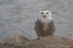 milnernaturescapes.ca gallery - Snowy owl