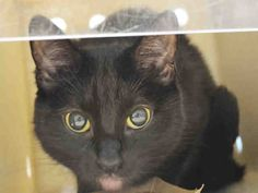 VIXEN - A1064525 - - Manhattan Please Share: **TO BE DESTROYED 02/10/16** NEW HOPE RESCUE is needed for 5-month-old VIXEN, tonight! This defensive little lady prefers Pomeranians to people, which is actually rather endearing of her. Found as a stray a few months back, Vixen never really settled into her former home and those people finally just took the easy way out. Being in the shelter has done little to convince her that humans are loving, caring creatures so her New
