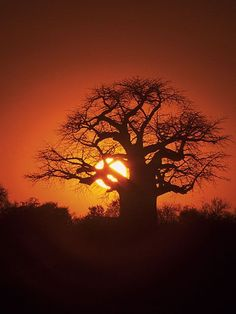 Baobab tree - this is almost identical to a painting I did in highschool. Same colors & everything. I should hang that paining up. Le Baobab, Baobab Tree, Tree People, Out Of Africa, East Africa, Totems, Fantastic Art, Tree Of Life, Ciel