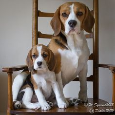 My beagles learning how to pose for the camera
