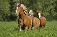 Finnhorses on the field. #Finland #summer #horse