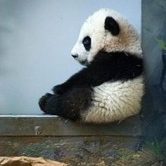 love pandas!  how could you not!