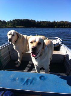 Cash and Jack... Labradors | Pawshake Telarah