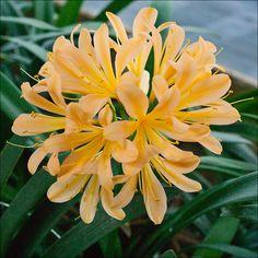 Clivia miniata, Chubb Exhibition Peach.  Colorado Clivia's plant number 1147B.
