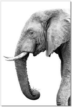 Introduce natural majesty into your décor with the J&M Furniture Acrylic Art Tusk. The elephant silhouette depicted in this photographic image is highly detailed. It's printed onto acrylic canvas, lending crisp lines and stark contrasts. Elephant Love, Elephant Art, Elephant Sketch, Elephant Watercolor, Asian Elephant, Elephant Tattoos, Elephant Photography, Animal Photography, Photography Props