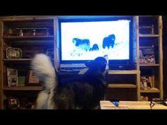 Tonka the Alaskan Malamute watching She Wolf