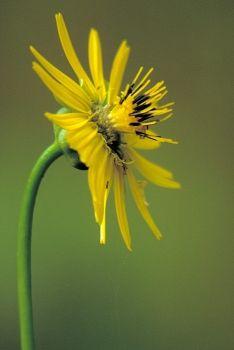 Native Arkansas Wildflowers - Prairie Dock | Silphium terebinthinaceum